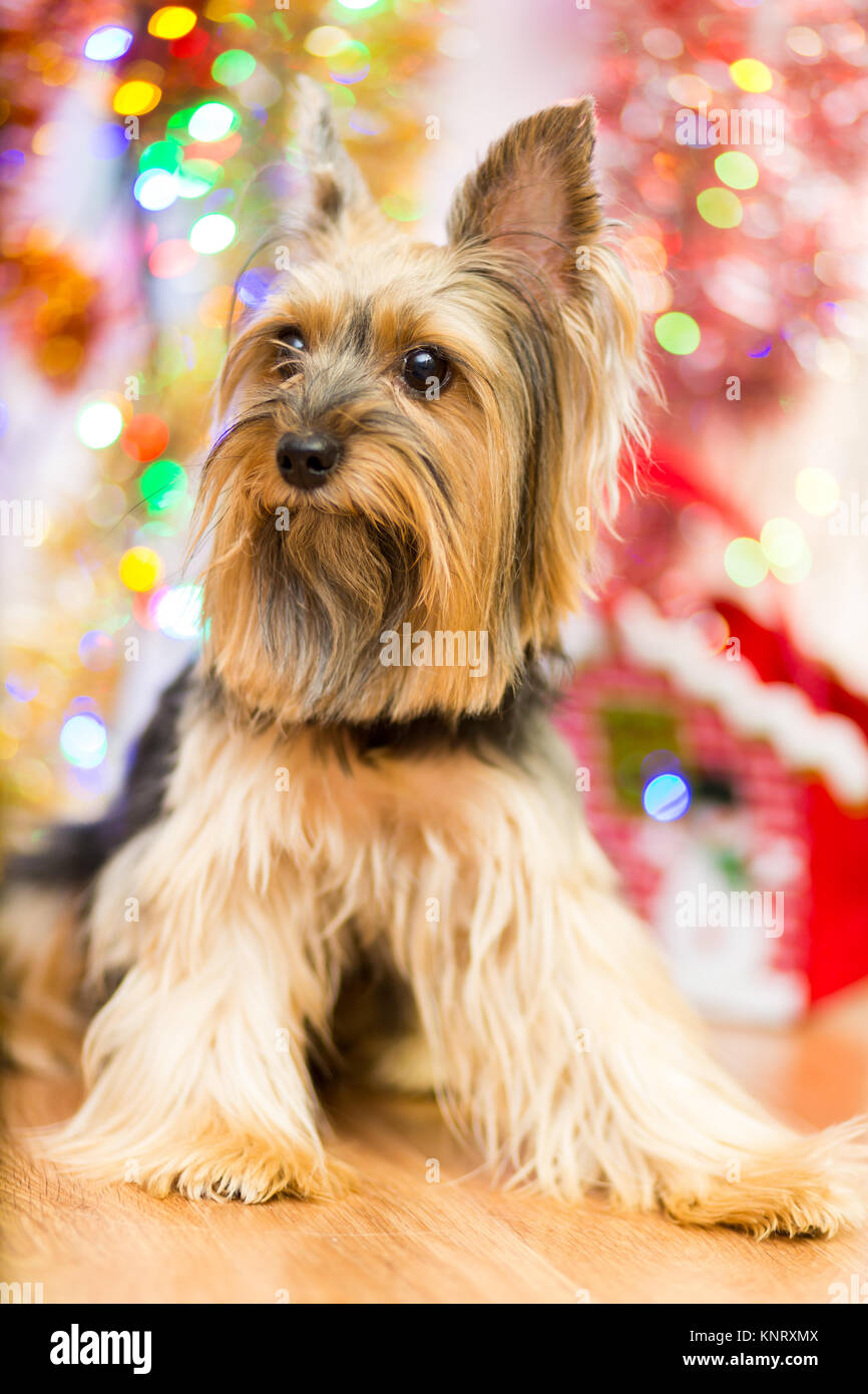 A Dog Breed Yorkshire Terrier On A Background Of Christmas Garlands