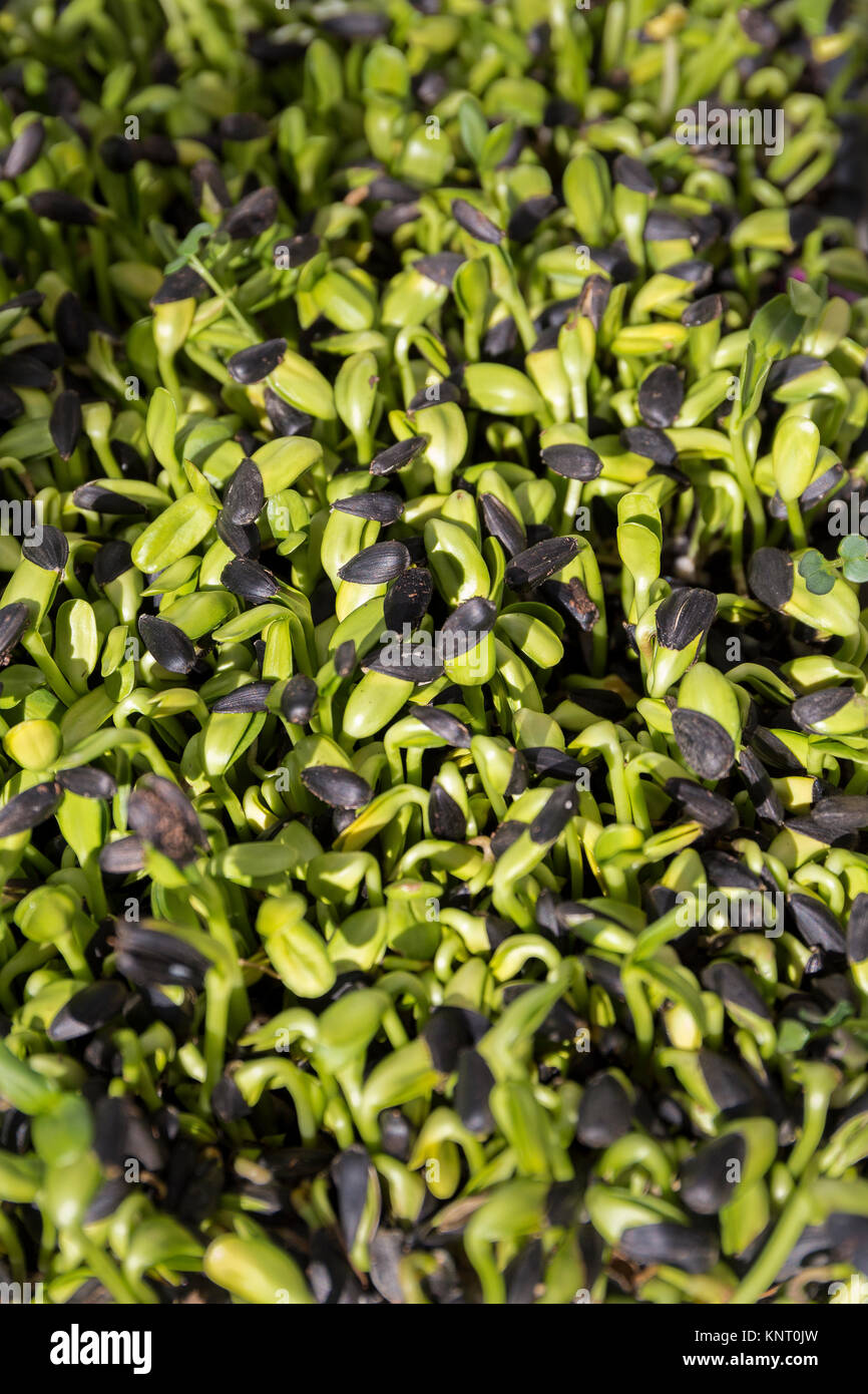 Sunflower sprouts on the Lifefood Gardens stall at the  Ecology Center Farmer's Market in downtown Berkeley. Stock Photo