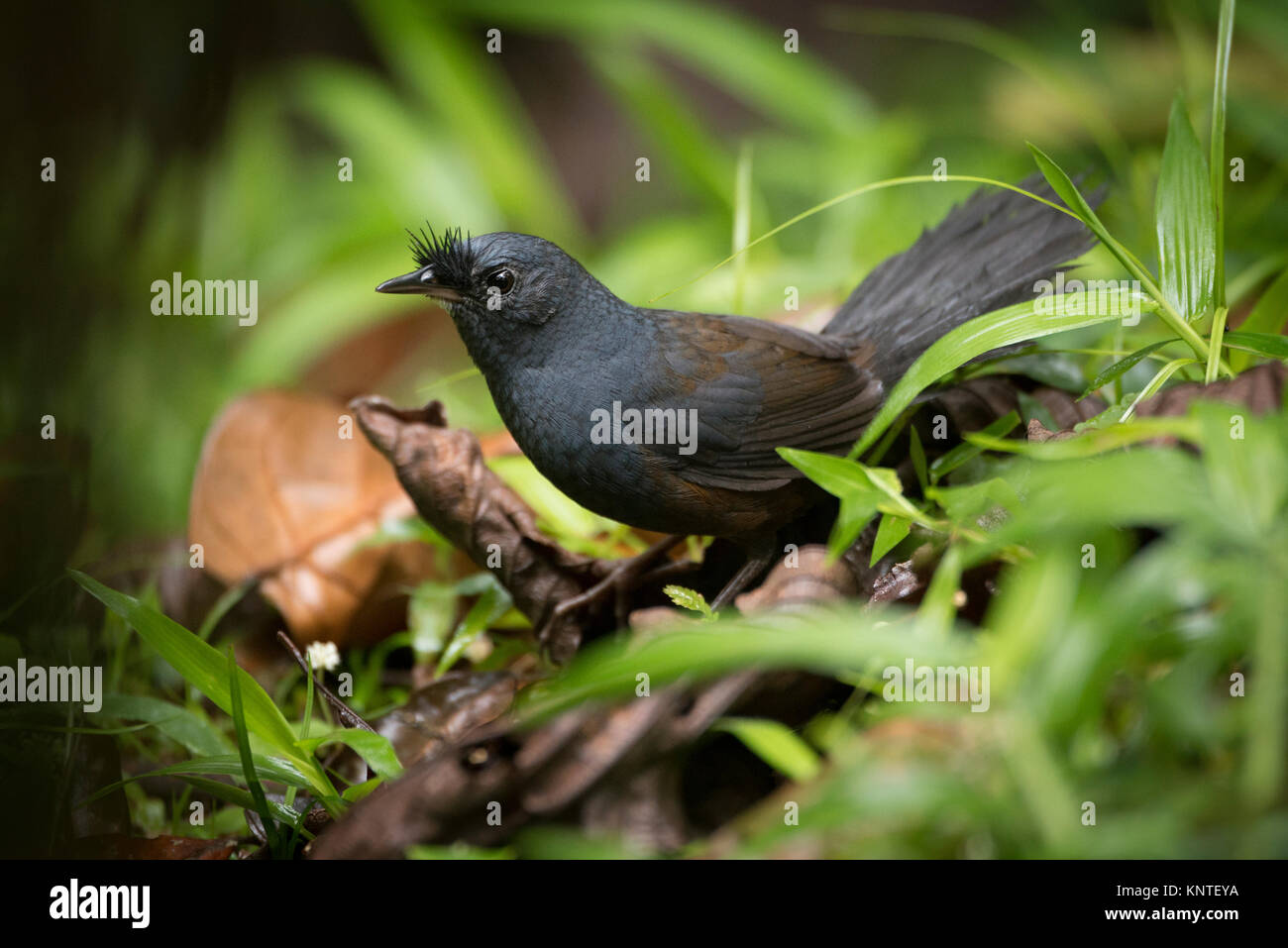 A Slaty Bristflefront (Merulaxis ater) at the ground of the Atlantic Rainforest of SE Brazil - Stock Image