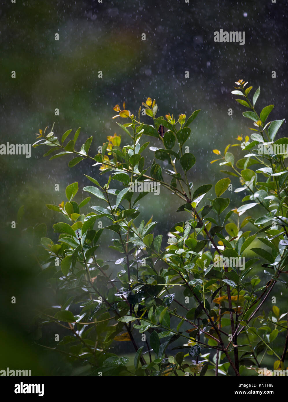 Light rain in the Atlantic Rainforest of SE Brazil - Stock Image