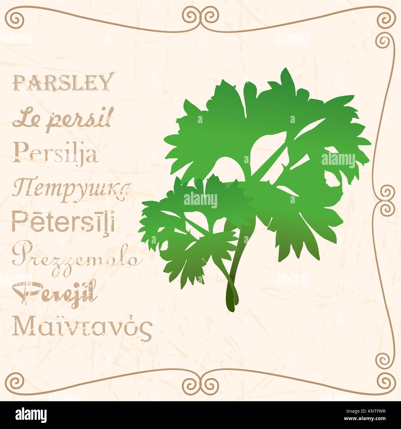 Sprig of parsley in vintage style - Stock Vector