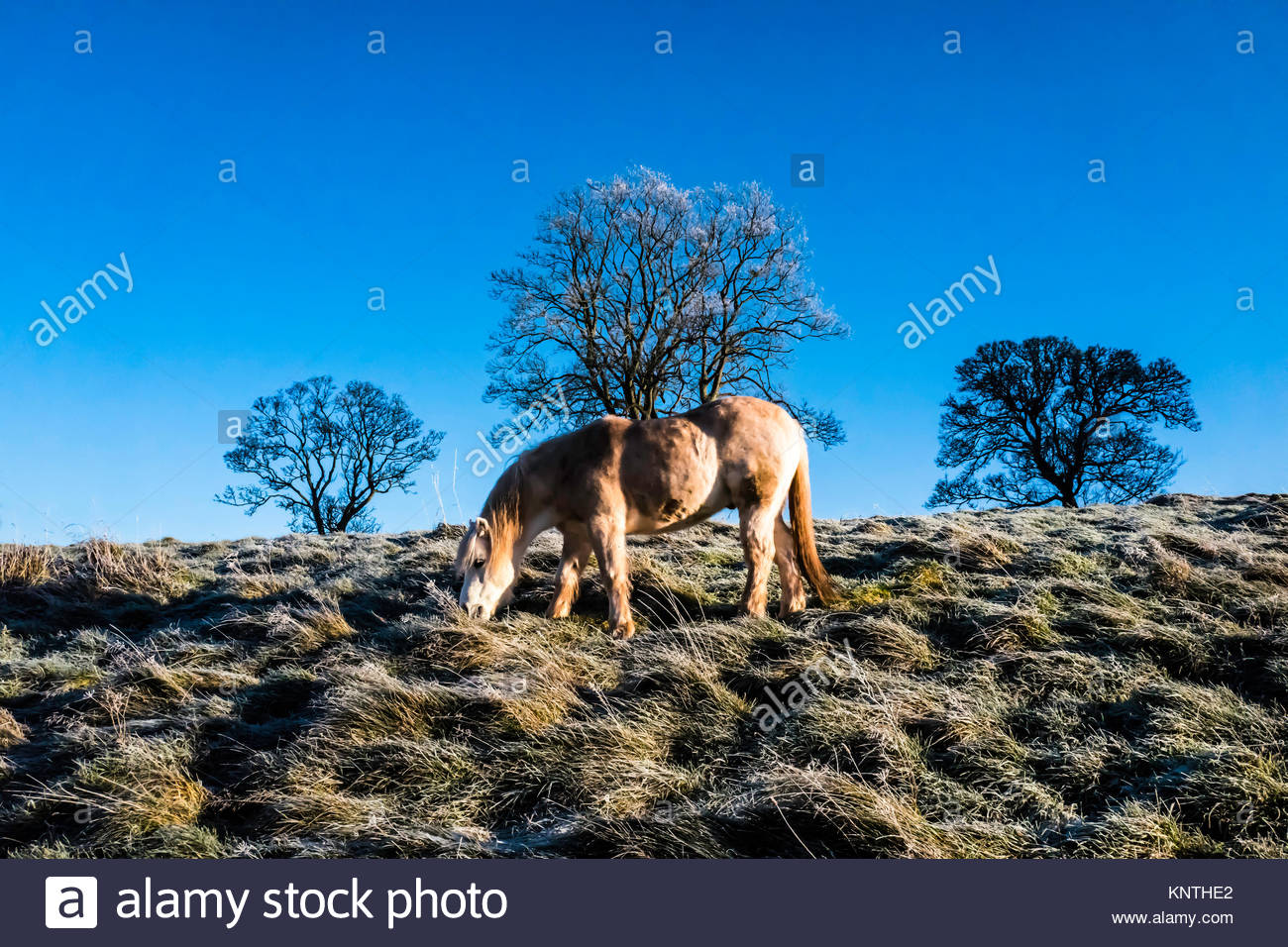 A pony grazing in a field covered in heavy frost. - Stock Image