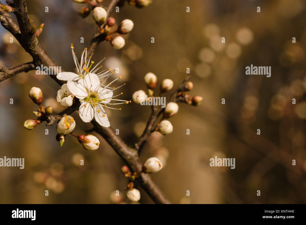 Blackthorn or prunus spinosa blossoms in late March a wild shrub native to the UK and Europe it produces sloe berries - Stock Image