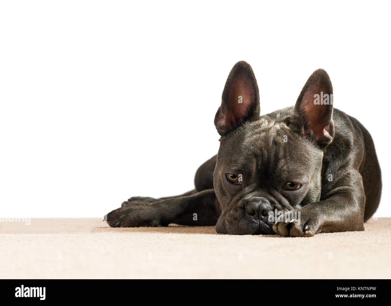 blue french bulldog depressed with sad eyes looking down in the dumps on a white background with a cream house carpet - Stock Image