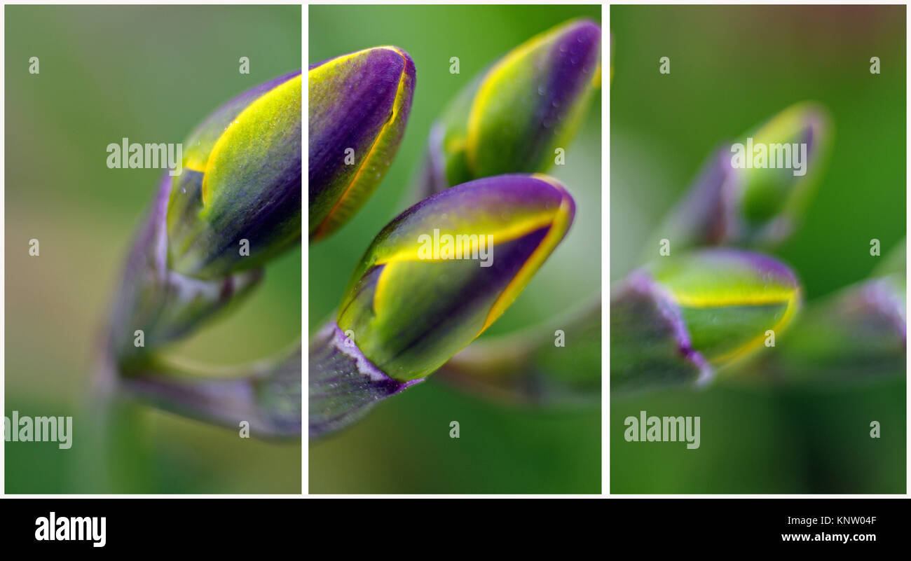 Freesia close-up (Triptych: picture molded into 3 fields for printing decorative panels)i - Stock Image