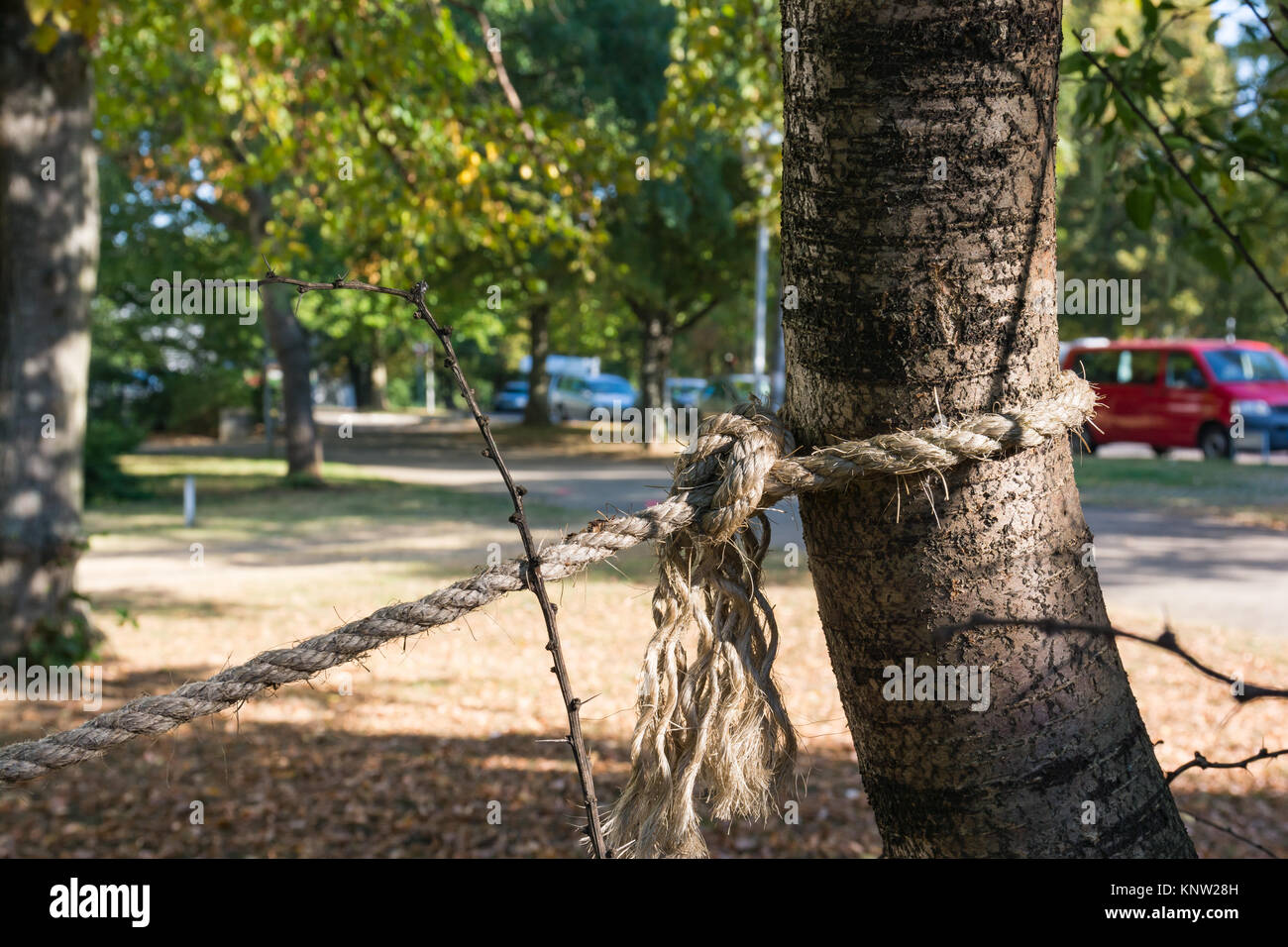 Rope Secure Tied Around Tree Trunk Strength Outdoors Morning - Stock Image