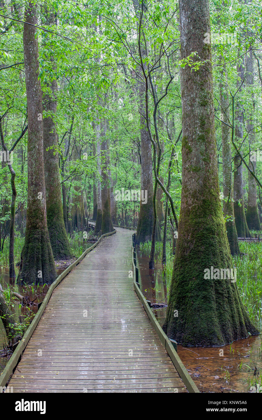 Congaree National Park, low boardwalk through moss covereed Water Tupelo in spring. - Stock Image