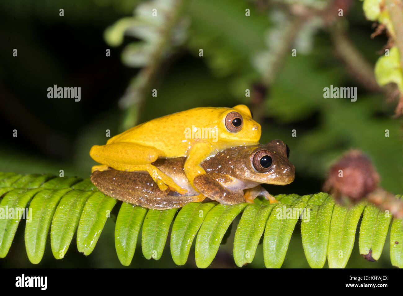 Pair of Minute Treefrogs  (Dendropsophus minutus) in amplexus (mating) above a rainforest pond.  In the Cordillera - Stock Image
