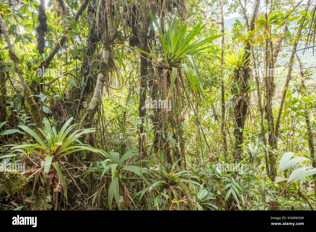 Many bromeliads growing in montane rainforest with mossy tree trunks in the  Cordillera del Condor, a site of high - Stock Image