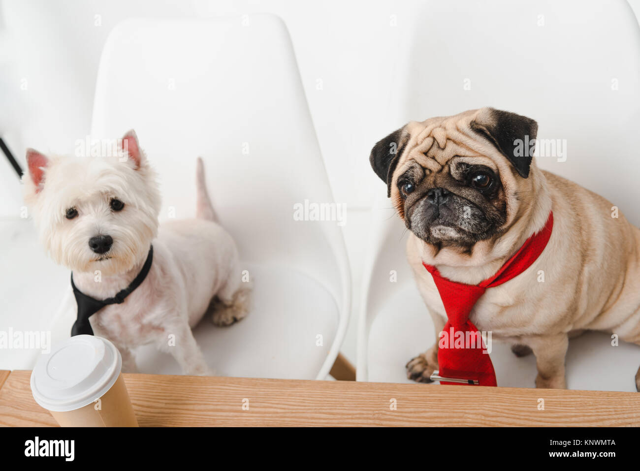 Business Dogs In Neckties   Stock Image