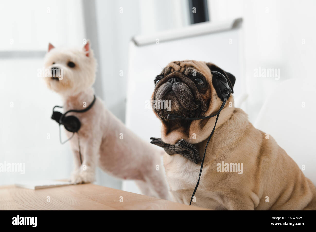 business dogs with headsets - Stock Image