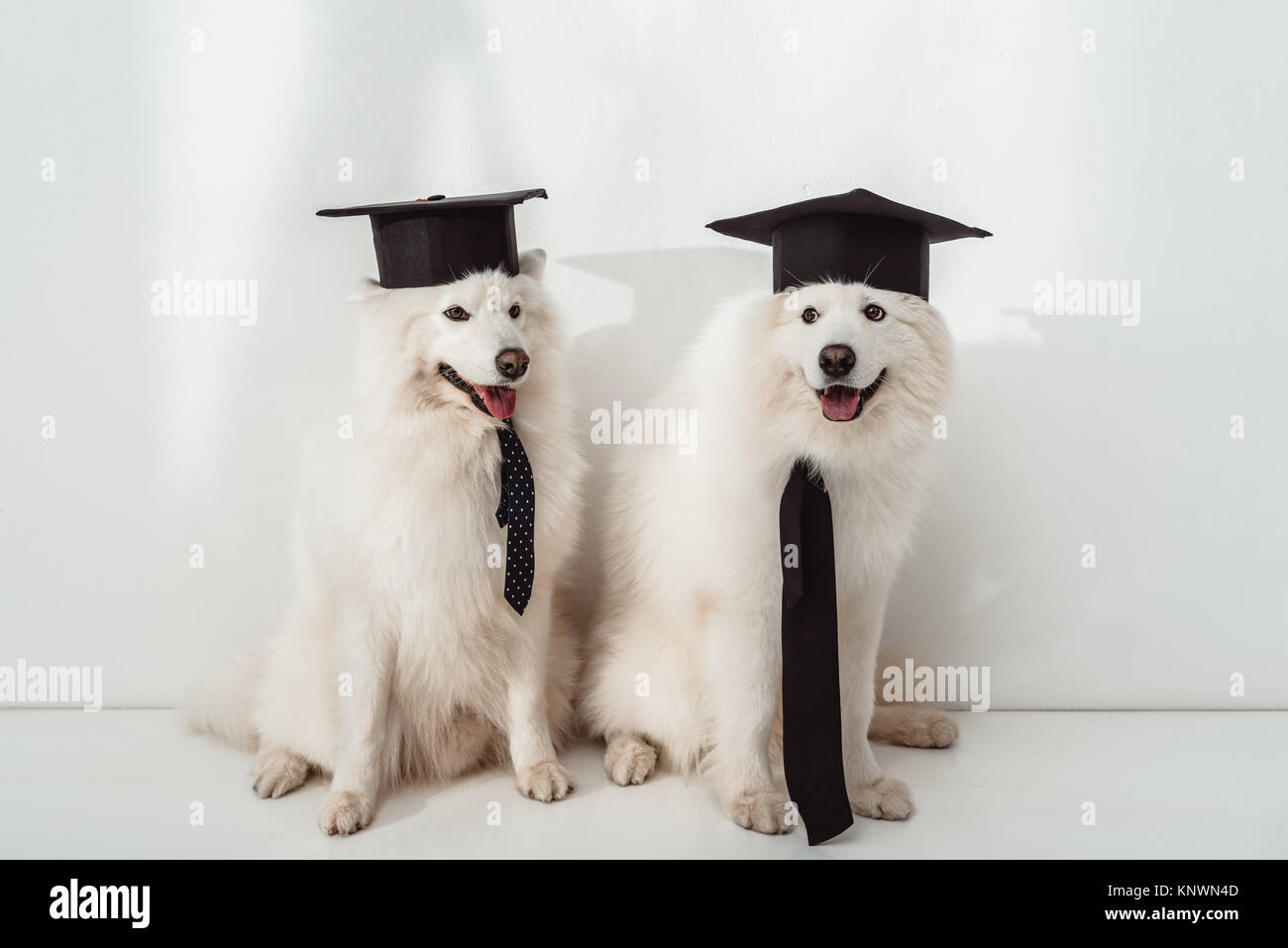 dogs in graduation hats - Stock Image