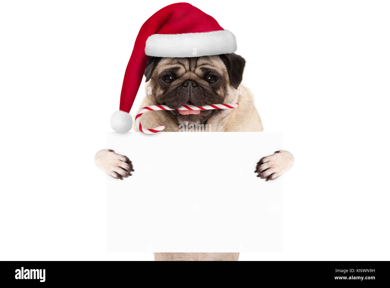 cute Christmas pug dog with santa hat and candy cane, holding up blank white banner card, isolated on white background - Stock Image