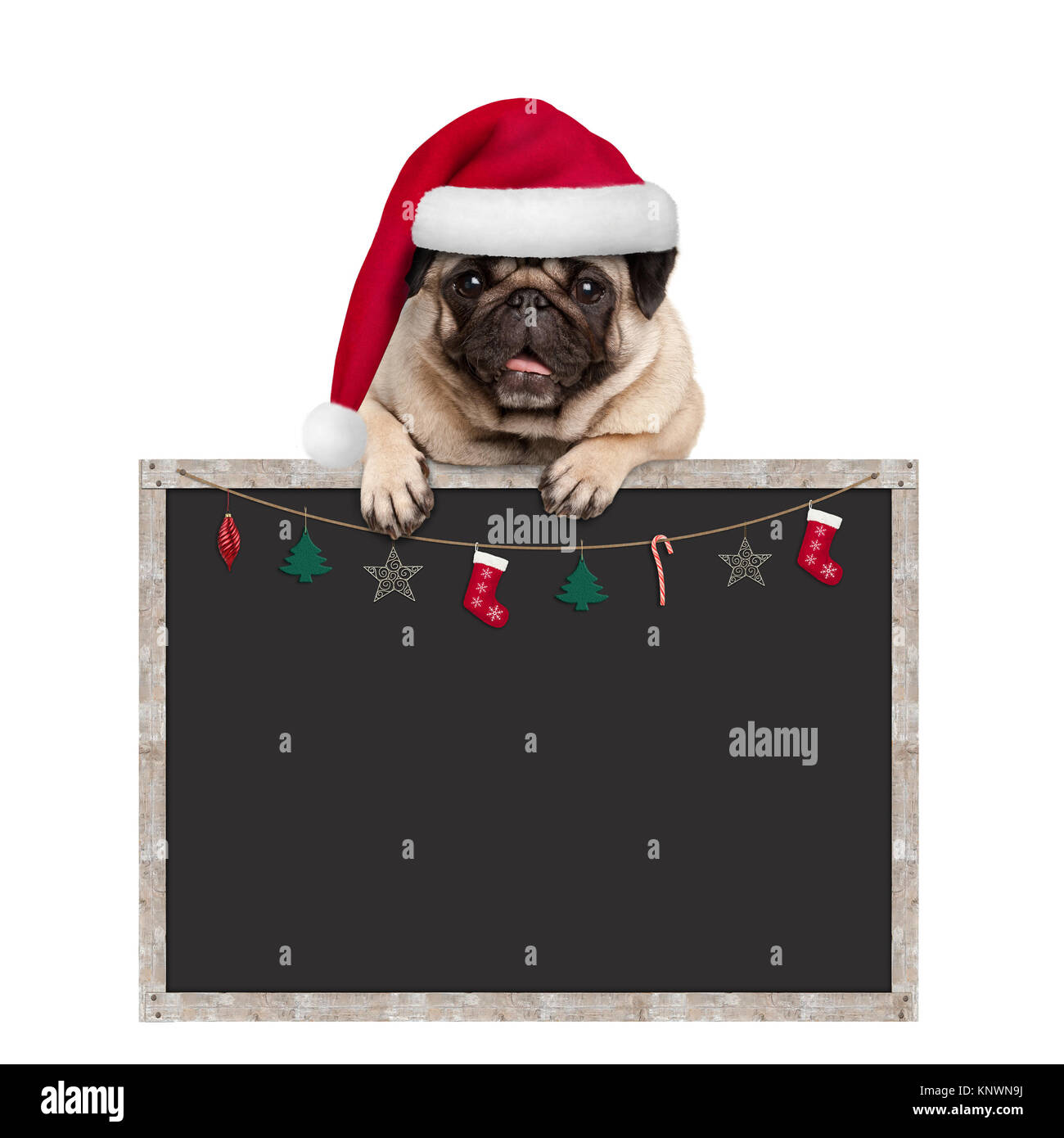 cute pug puppy dog wearing santa hat hanging with paws on blank blackboard sign with Christmas decoration, isolated - Stock Image