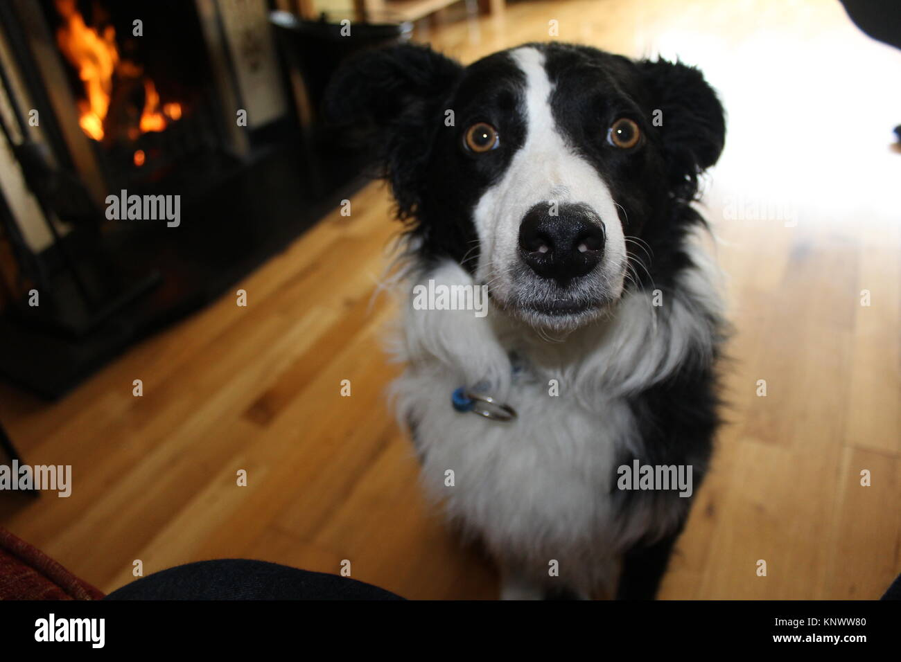 Border Collie by the Fire - Stock Image
