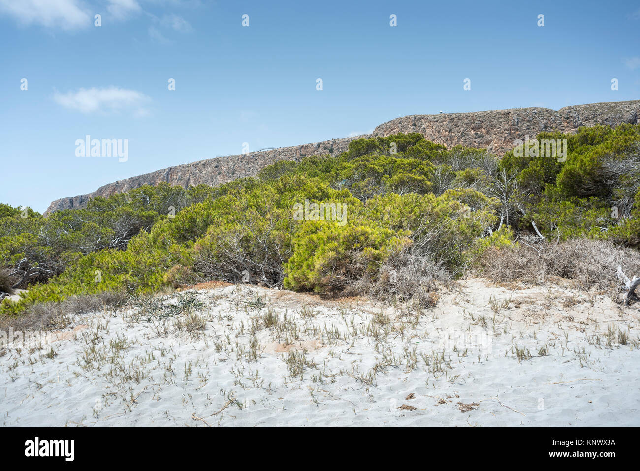 Pine grove of Aleppo Pine, Pinus halepensis, growing on dunes. Photo taken in Santa Pola, Alicante, Spain - Stock Image