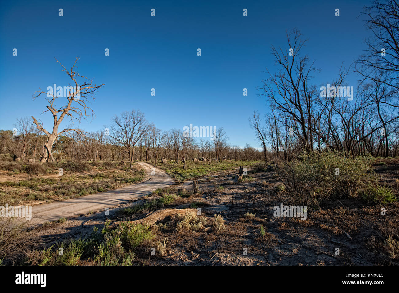 Dead or dying trees in forrest near the Murray River in the Murray Darling Basin area of Nortern Victoria. Years of prolonged drought with its associa Stock Photo
