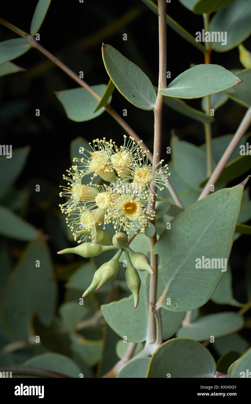 Curly Mallee or Eucalyptus gillii, rarely seen Australian Eucalypt, growing in arid country near Broken Hill, NSW - Stock Image