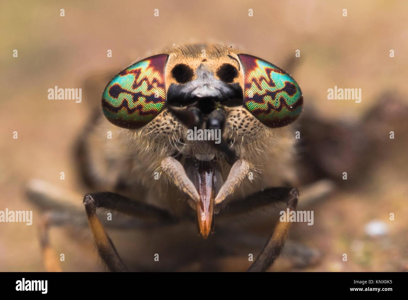 Notch-horned Cleg horsefly female (Haematopota pluvialis) frontal photo showing the very colourful compound eyes. - Stock Image