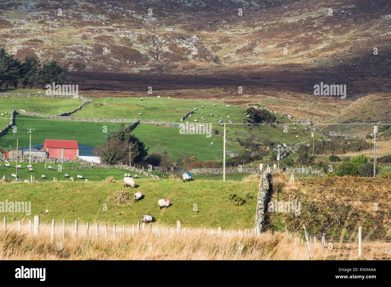 Sheep grazing in a field in rural Republic of Ireland - Stock Image