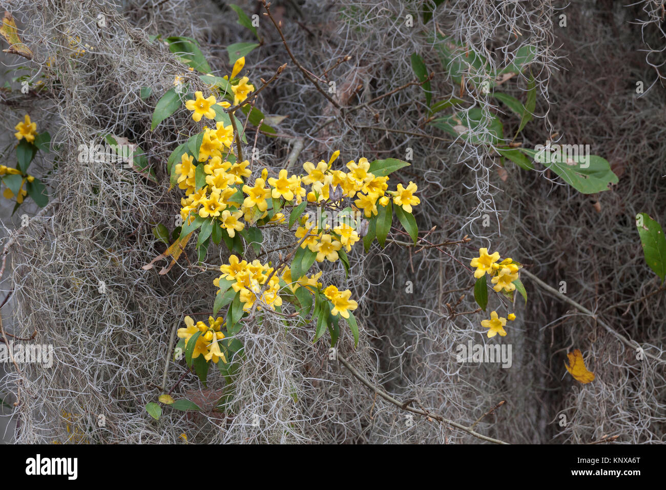 Yellow Jessamine (Gelsemium sempervirens) in Congaree National Park, South Carolina, blooming amid Spanish Moss. - Stock Image