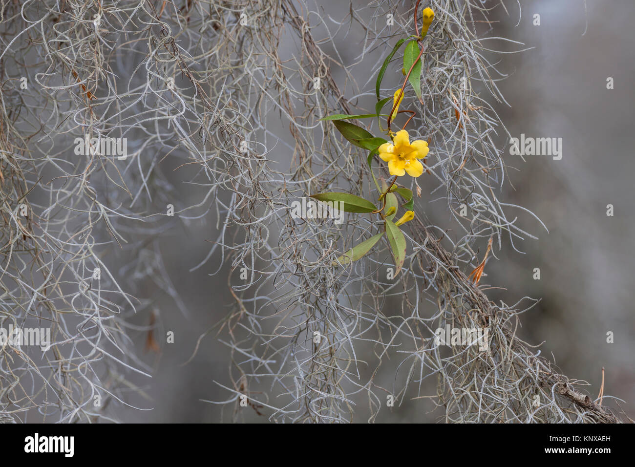 Yellow Jessamine (Gelsemium sempervirens) in Congaree National Park, South Carolina, blooming amid Spanish Moss. Stock Photo