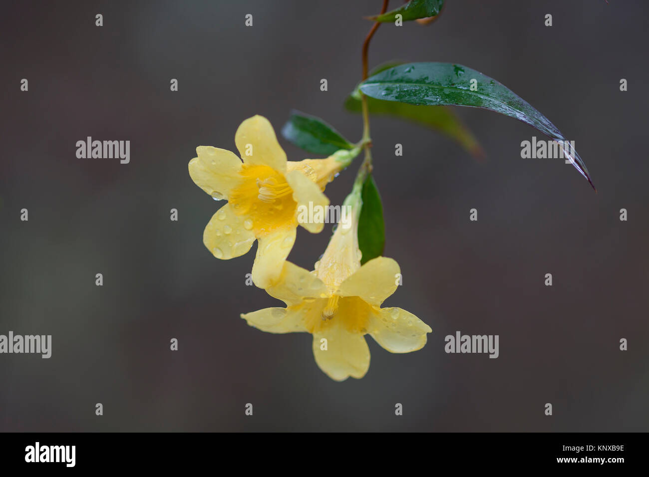 Yellow Jessamine,  (Gelsemium sempervirens) state flower of South Carolina, blooming in Congaree National Park. Stock Photo
