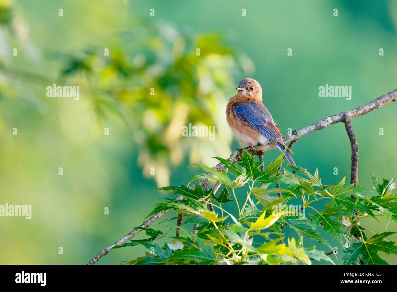 Bluebird in Tree - Stock Image