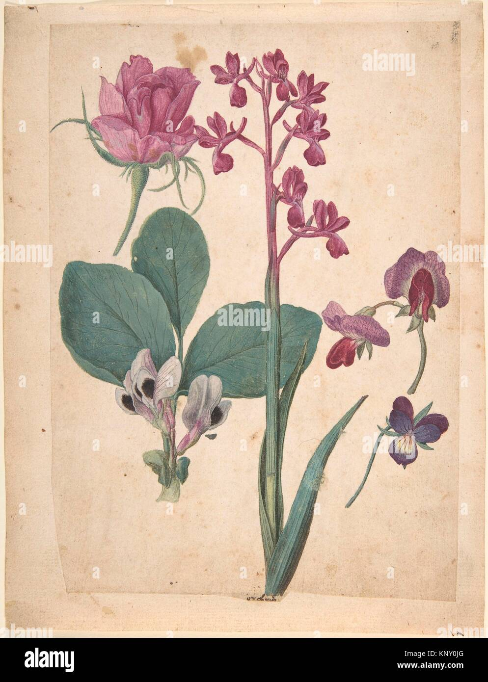 A Sheet of Studies of Flowers: A Rose, a Heartsease, a Sweet Pea, a Garden Pea, and a Lax-flowered Orchid. Artist: - Stock Image