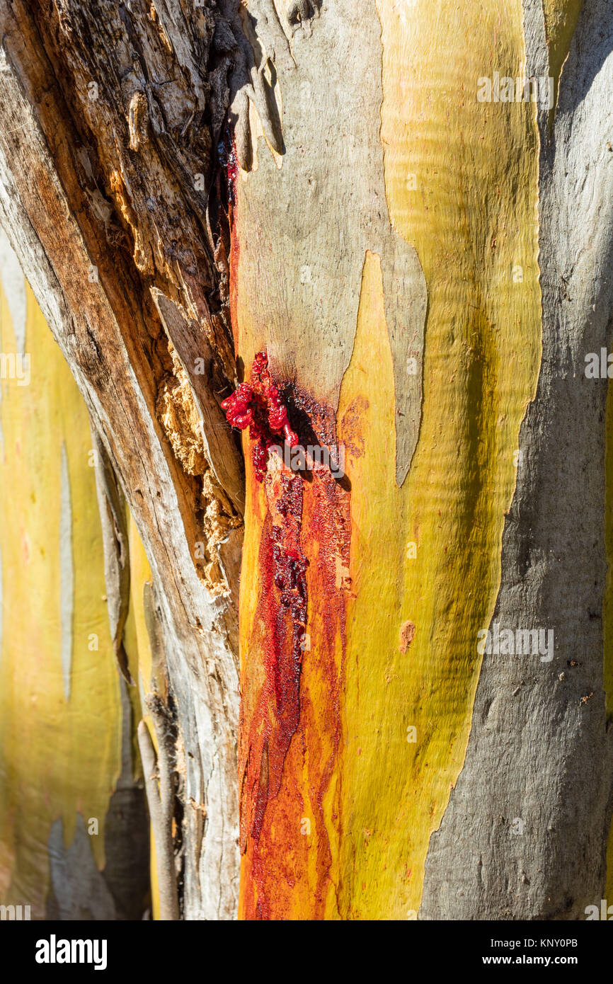 Red gum weeping from a wound on the green trunk of a Snow Gum tree (Eucalyptus pauciflora) near the Thredbo River - Stock Image