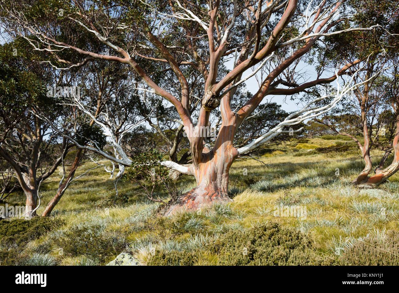 Snow Gum tree (Eucalyptus pauciflora) in autumn near the Snowy River in Kosciuszko National Park in the Snowy Mountains - Stock Image