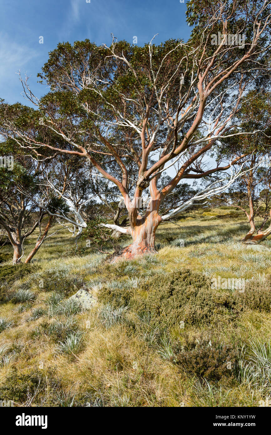 Snow Gum tree (Eucalyptus pauciflora) in autumn near the track to the Snowy River from  Charlotte Pass in Kosciuszko - Stock Image