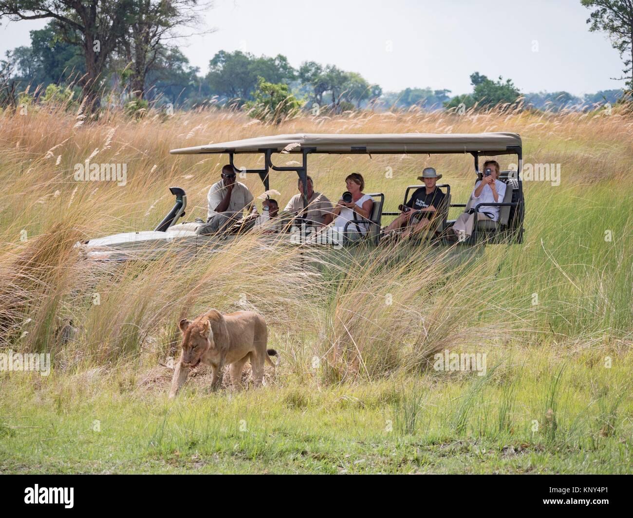 Botswana. Lion Kill. - Stock Image