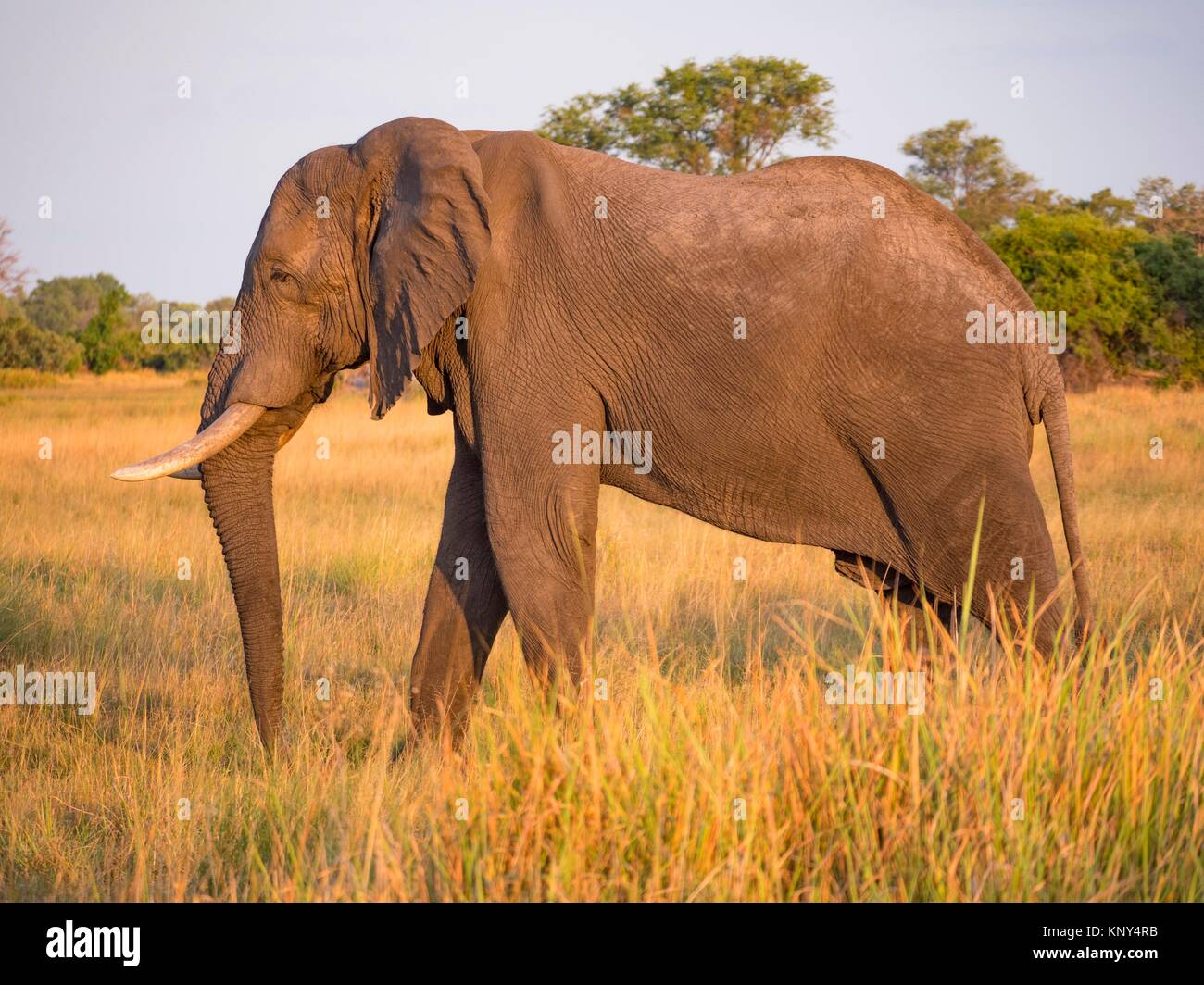 Botswana. Elephant Crossing River. - Stock Image