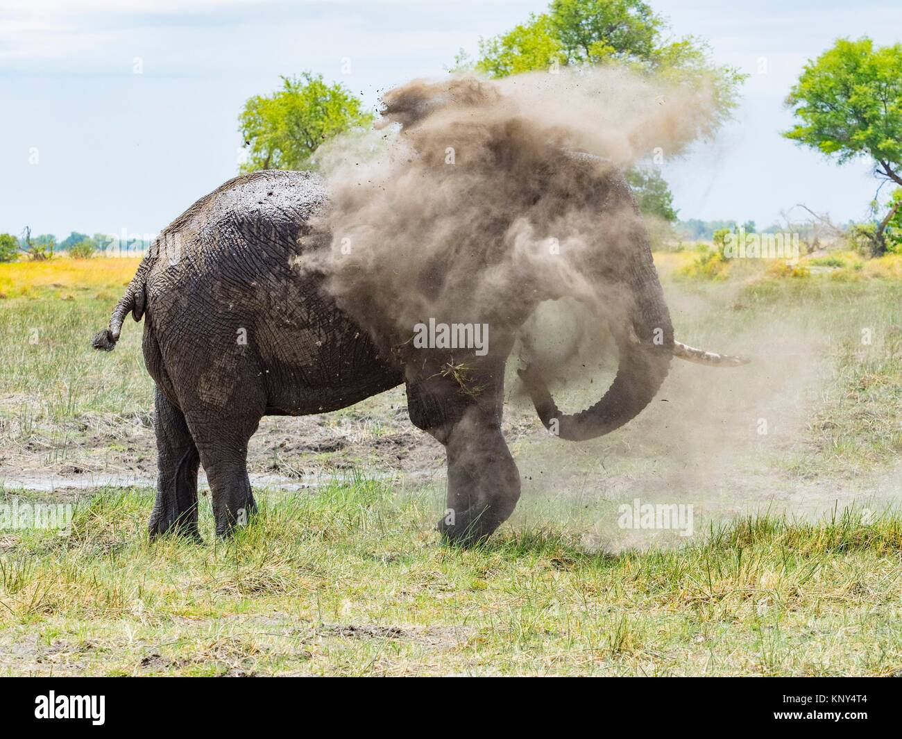 Botswana. Elephant Dust Bath. - Stock Image
