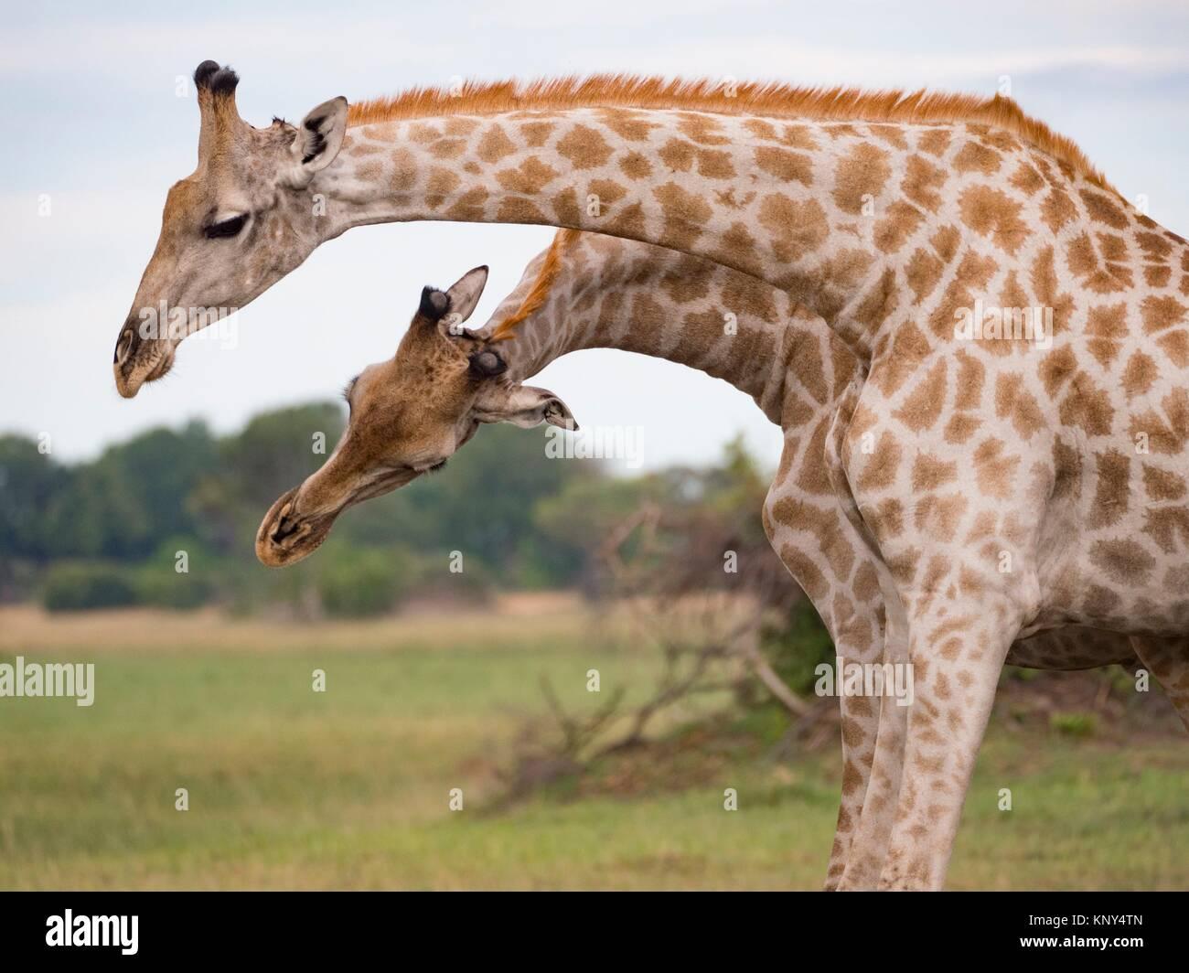 Botswana. Giraffe. - Stock Image