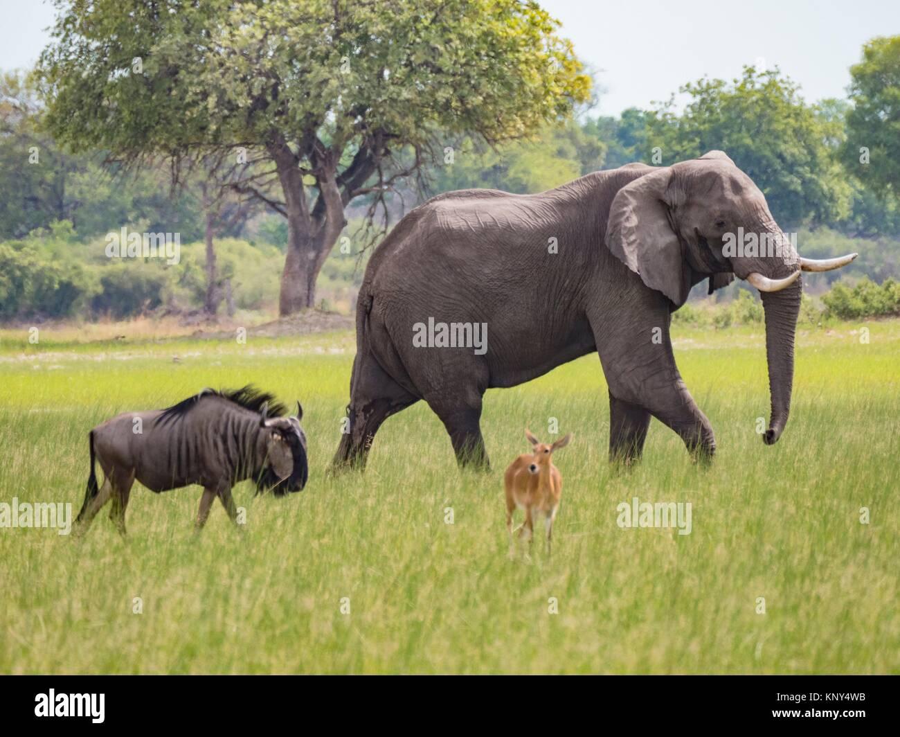 Botswana. Elephant. - Stock Image