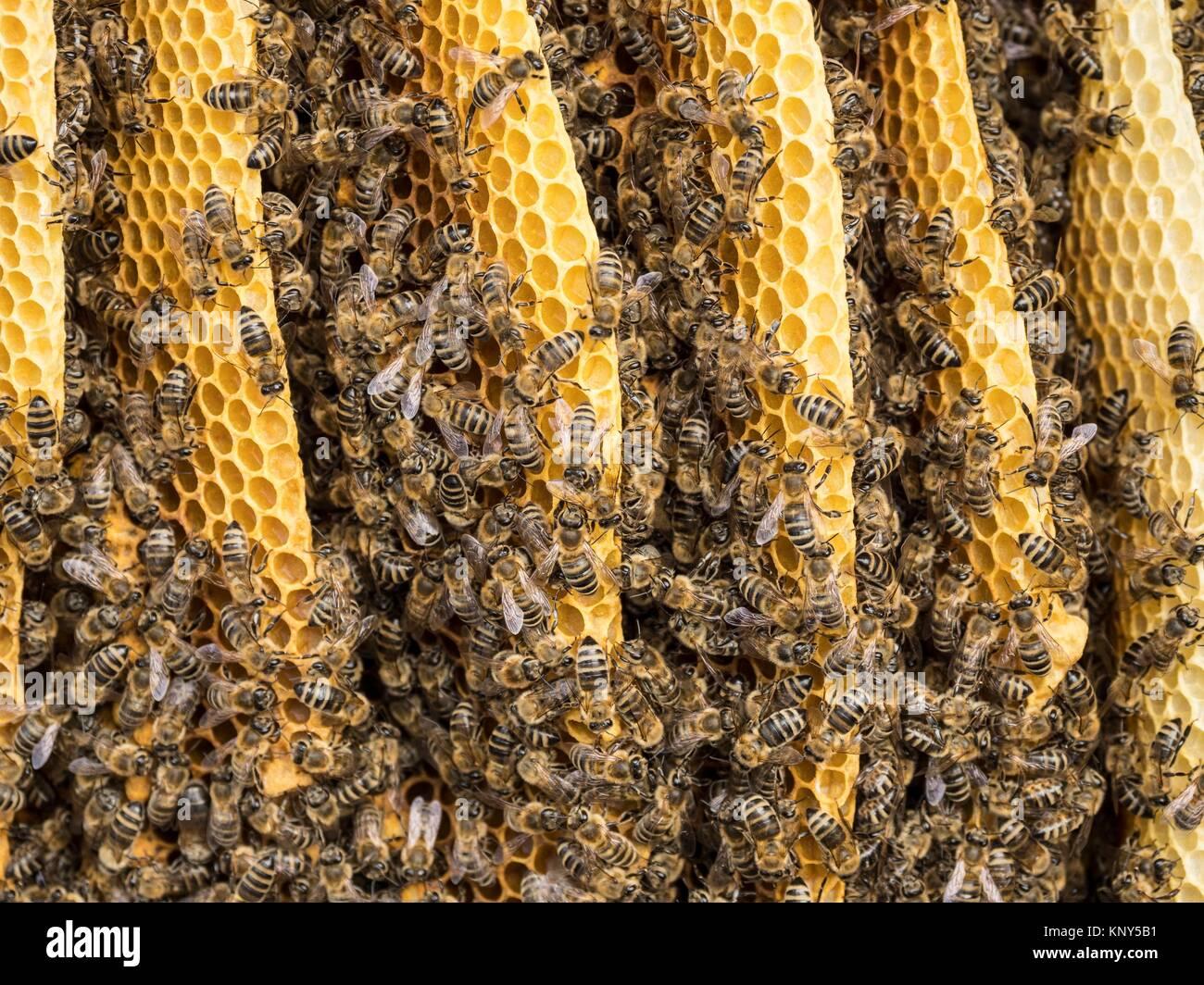 Slovenia Bumble Bees. - Stock Image