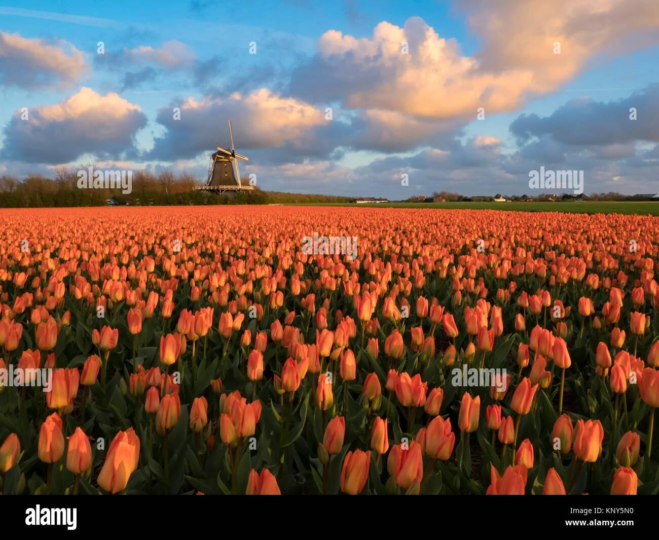 Noord Holland Rural Tulip Fields. - Stock Image