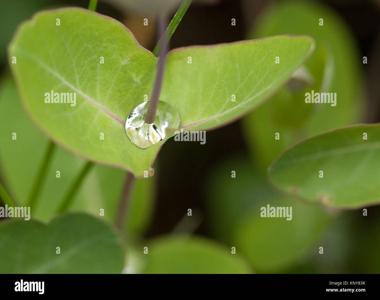 waterdrop on the leaf of a garden flower - Stock Image
