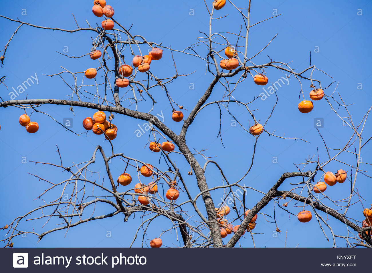 how to grow persimmon fruit tree