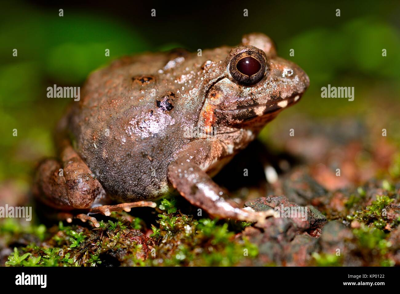 Indian burrowing frog (Sphaerotheca breviceps) in Cotigao sanctuary, Goa, India - Stock Image