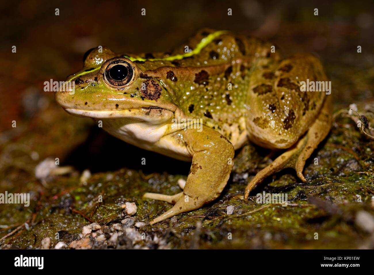 Common frog (Pelophylax perezi) in the edge of a pond in Bustarviejo, Madrid, Spain. - Stock Image