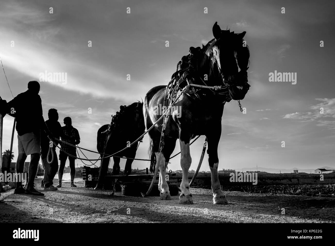 horses drag in the orchard of Valencia - Stock Image