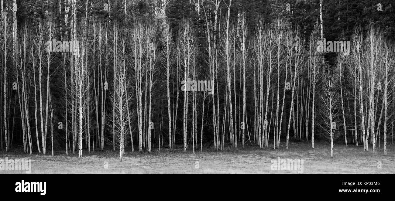Leaveless Aspen Trees at Kaibab National Forest, Arizona. - Stock Image