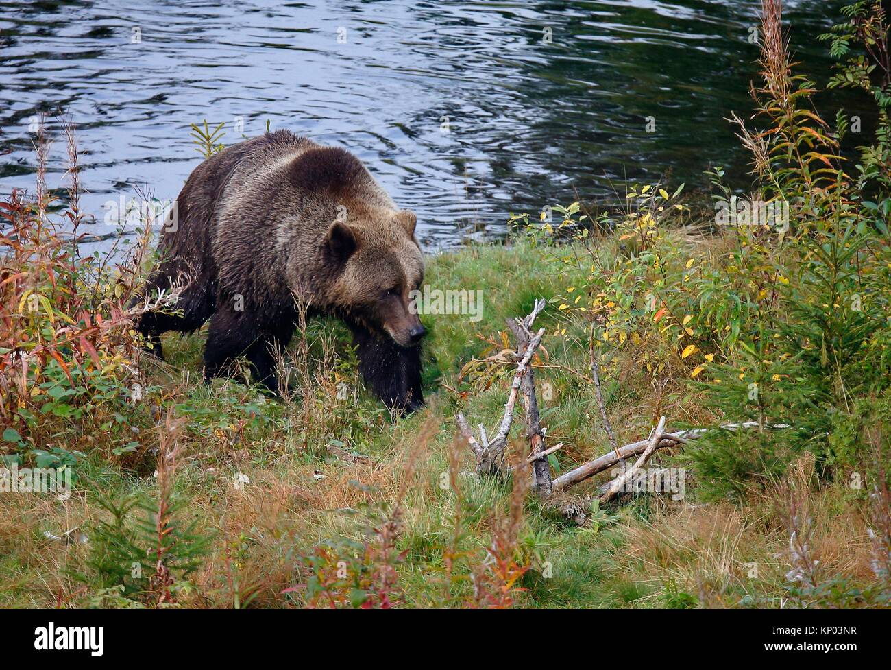 Brown bear Ursus arctos Dalarna Sweden Stock Photo