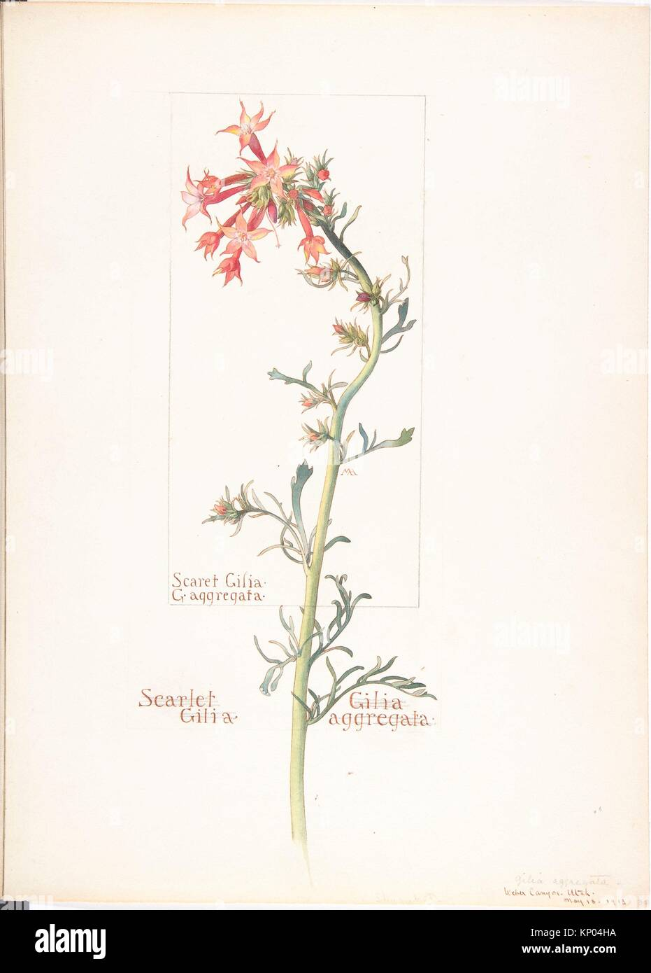 Scarlet Gilia, Gilila aggregata. Artist: Margaret Neilson Armstrong (American, New York 1867-1944 New York); Date: - Stock Image