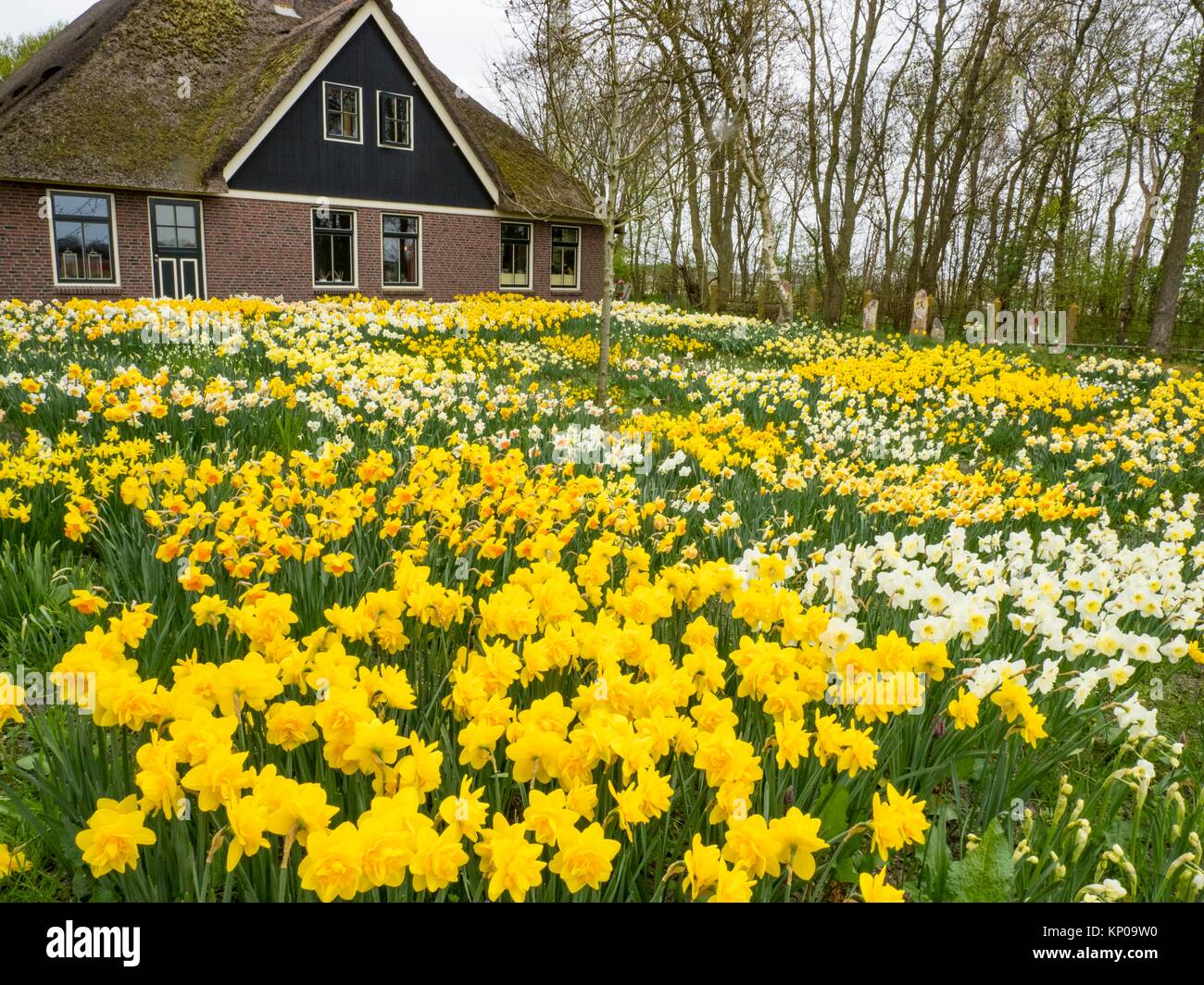 Noord Holland Rural Daffodil House. - Stock Image