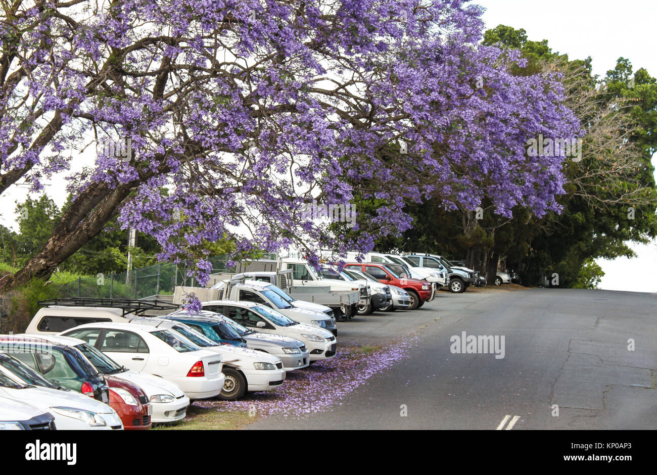 The purple blossoms of the Jacaranda trees falling on cars parked on a hill in Australia - Stock Image