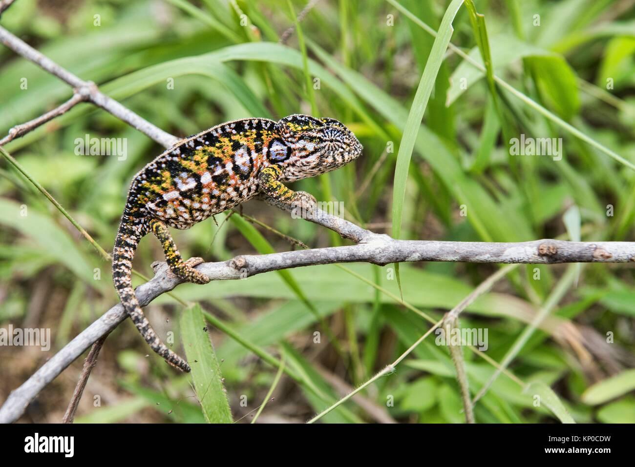 White-lined or carpet chameleon (Furcifer lateralis), Andasibe-Mantadia National Park, Madagascar. - Stock Image